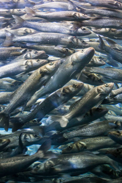 swarm of herrings, many fishes swimming together - herring stock photos and pictures