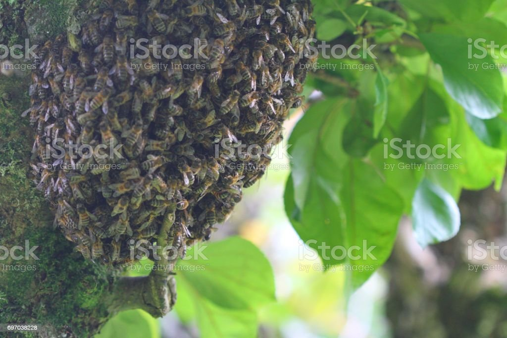 Swarm of honey bees on tree stock photo
