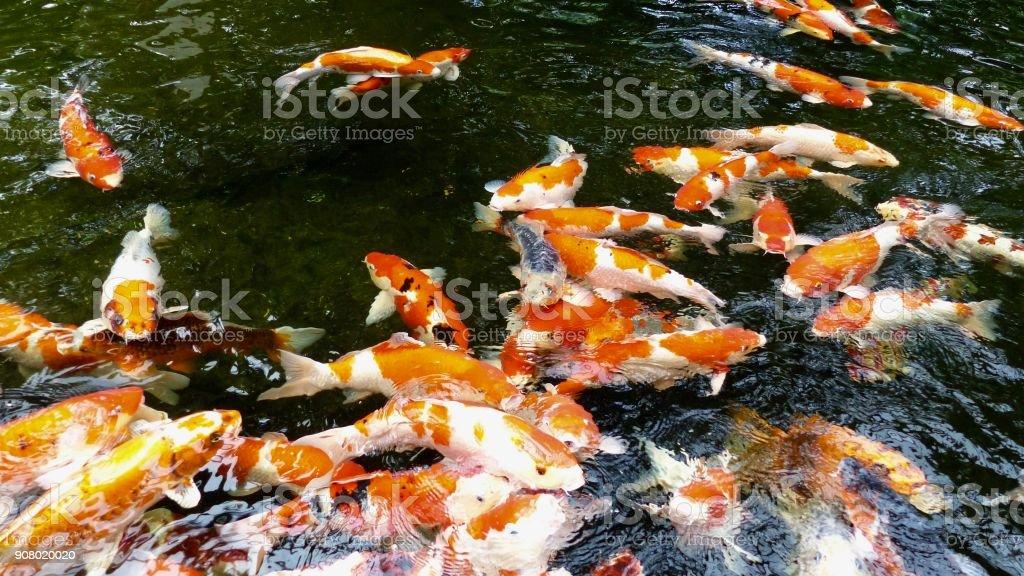 Swarm of Kois stock photo