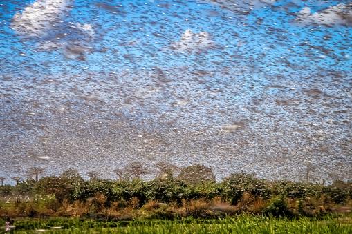 Swarm Of Locust Stock Photo - Download Image Now