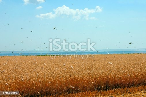 View of swarm of locusts and wheat field