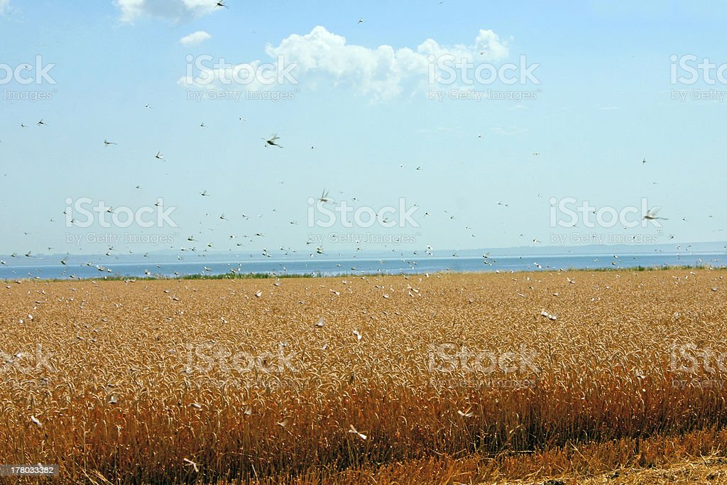 Swarm of locusts in wheat field stock photo