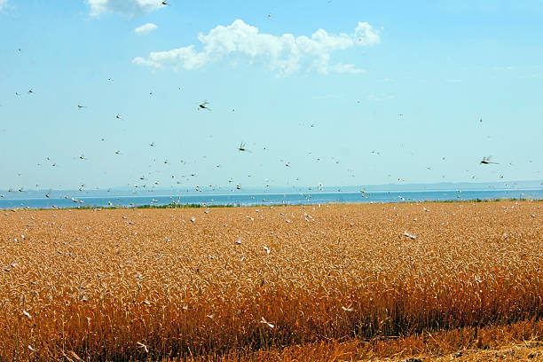 swarm of locusts in wheat field - insektenschwarm stock-fotos und bilder