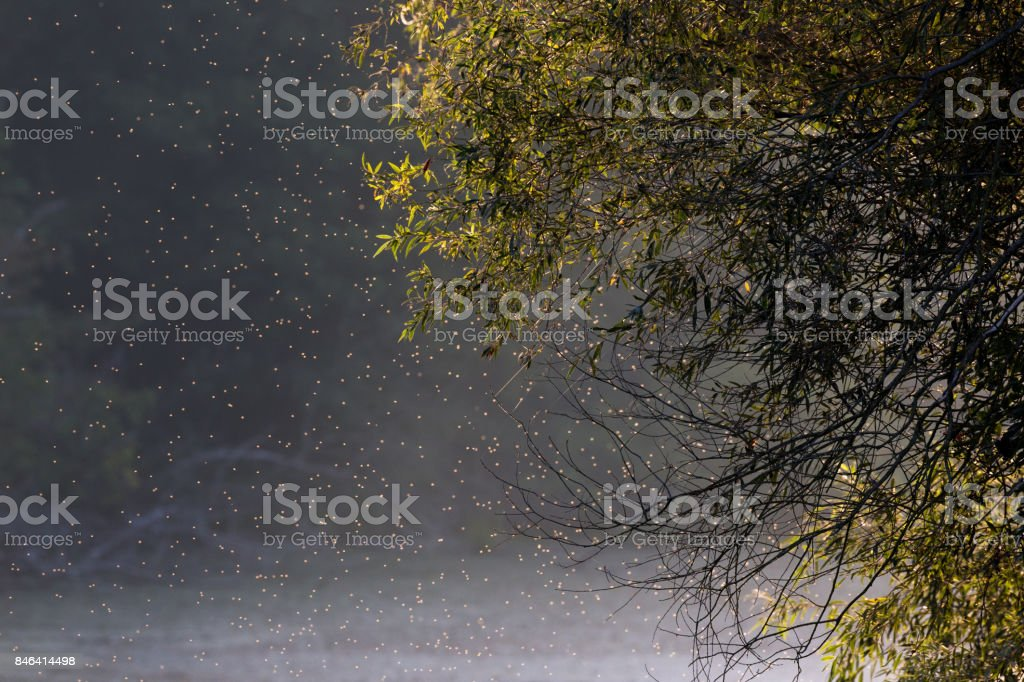 Swarm of midges in forest stock photo