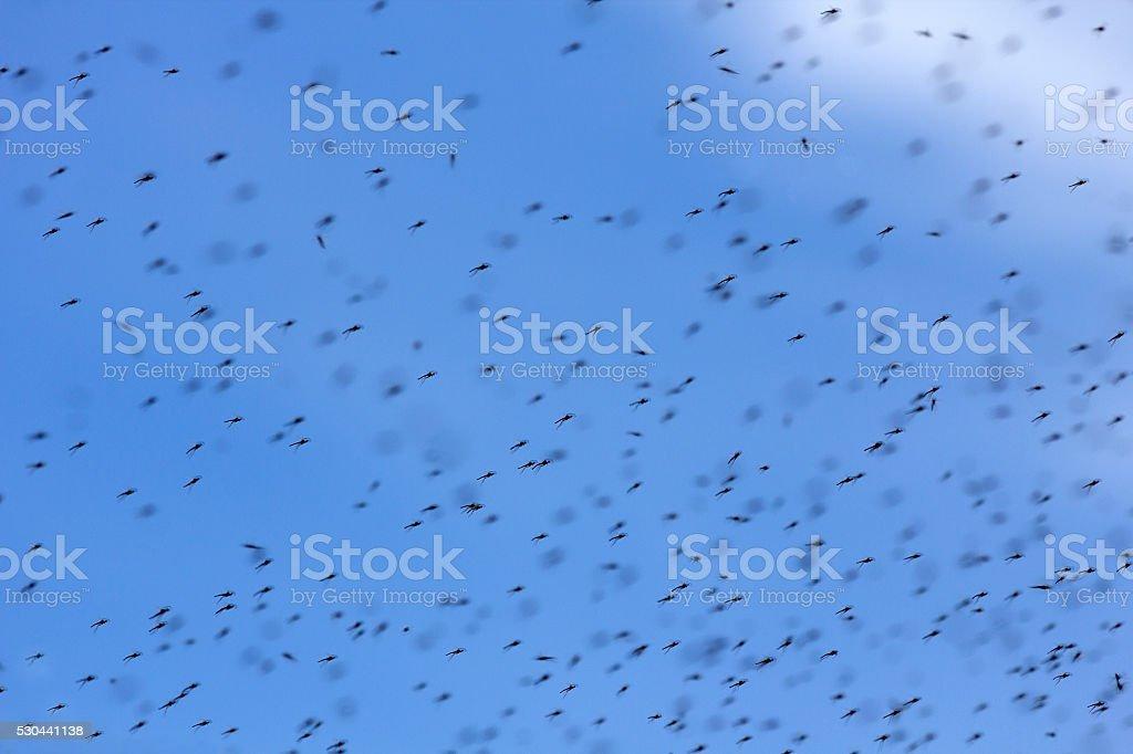 Nuée d'Mosquitos - Photo