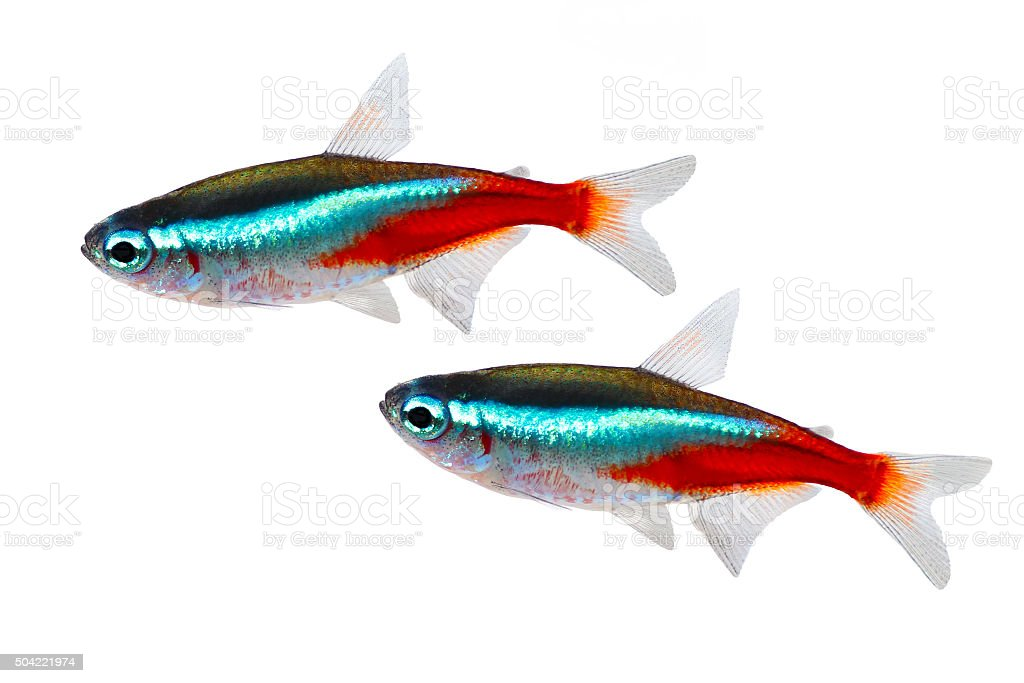 Swarm of Neon Tetra Paracheirodon innesi freshwater fish isolated stock photo