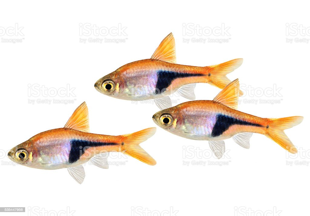 Swarm of Rasbora Het Harlequin rasbora heteromorpha freshwater aquarium fish stock photo