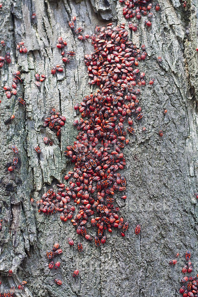 swarm of red bugs royalty-free stock photo