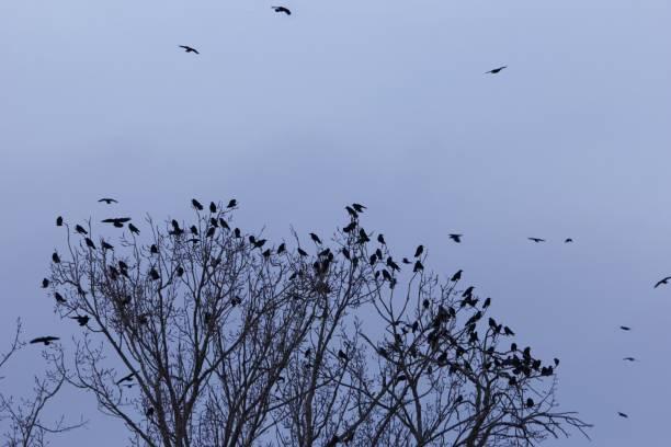 schwarm von saatkrähen (corvus frugilegus) an einem ruhenden baum - saatkrähe stock-fotos und bilder