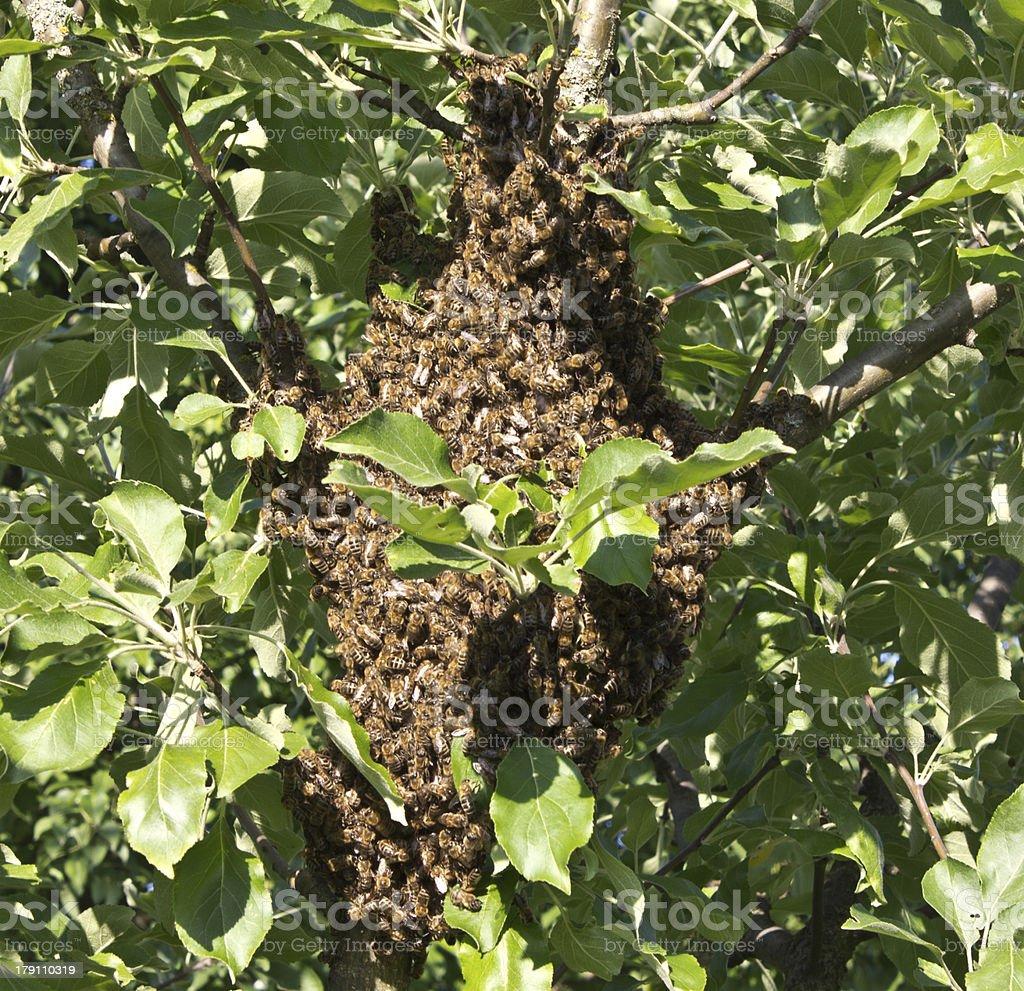 Swarming bees royalty-free stock photo