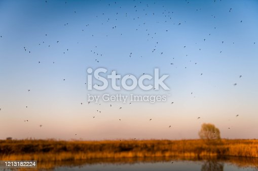 Swarms of mosquitoes above the wetland pond