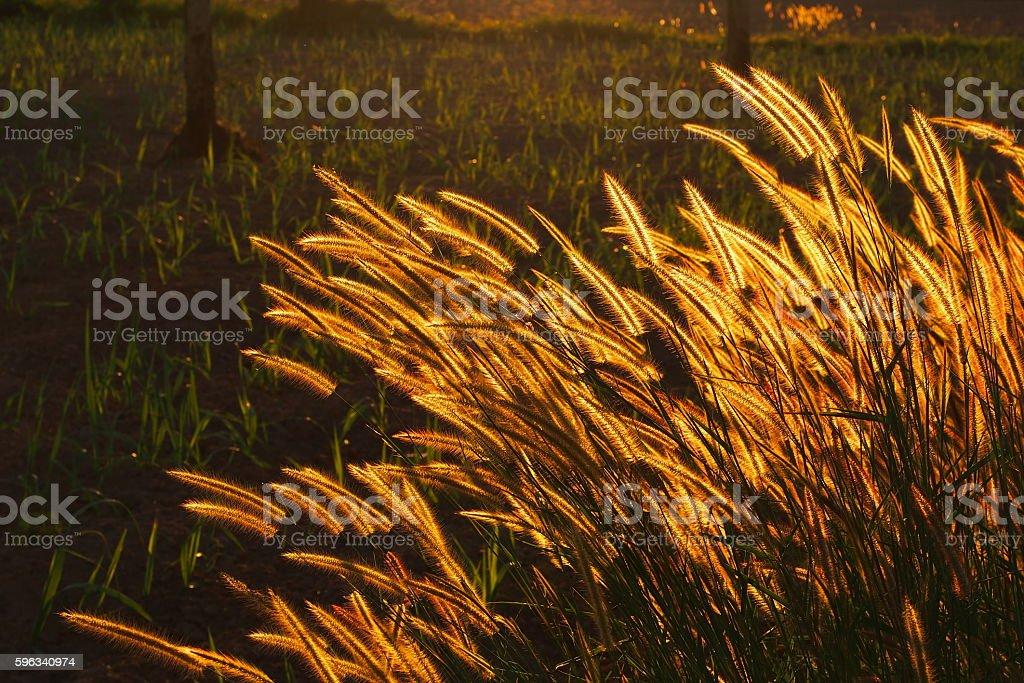 Swaying bright golden grass flower when sunset in evening Lizenzfreies stock-foto