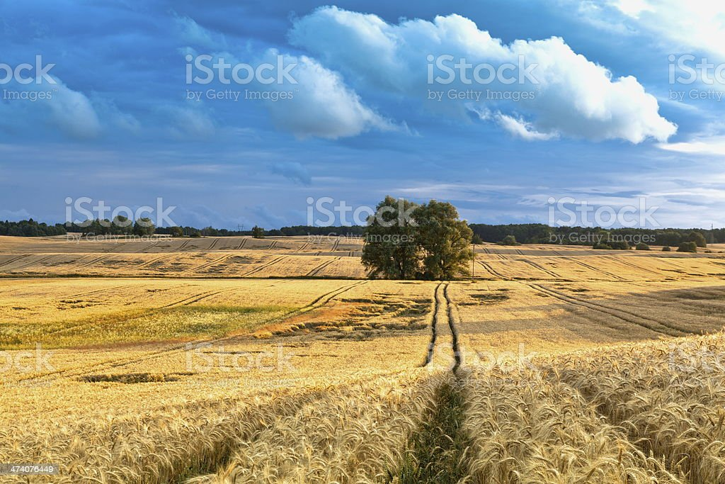 swaying cereal crop stock photo