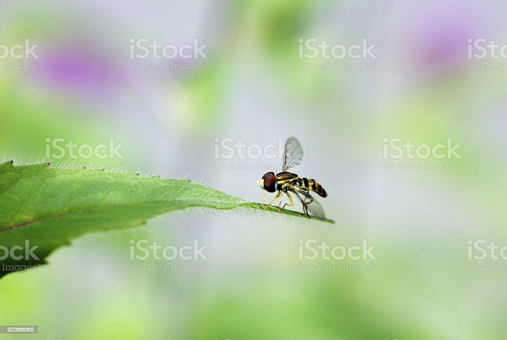 Sweat Wasp on Leaf royalty-free stock photo