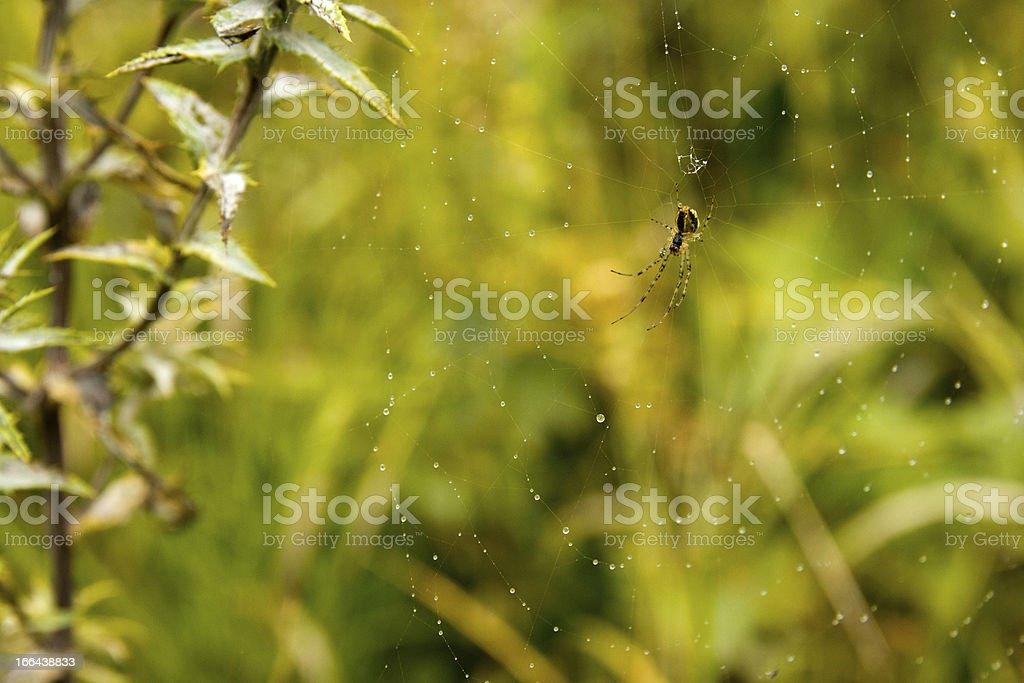 Sweaty Spider royalty-free stock photo