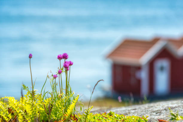 svensk kustflora - bohuslän nature bildbanksfoton och bilder