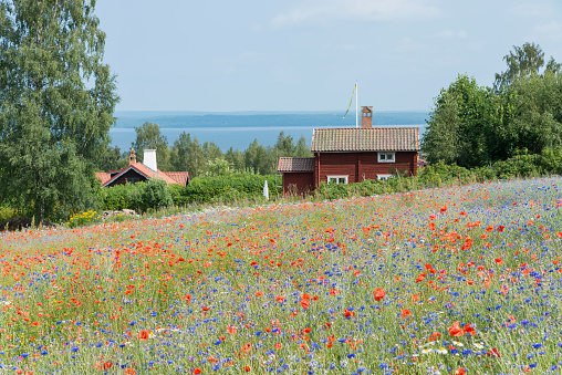 Swedish cottage and field of poppies and cornflowers