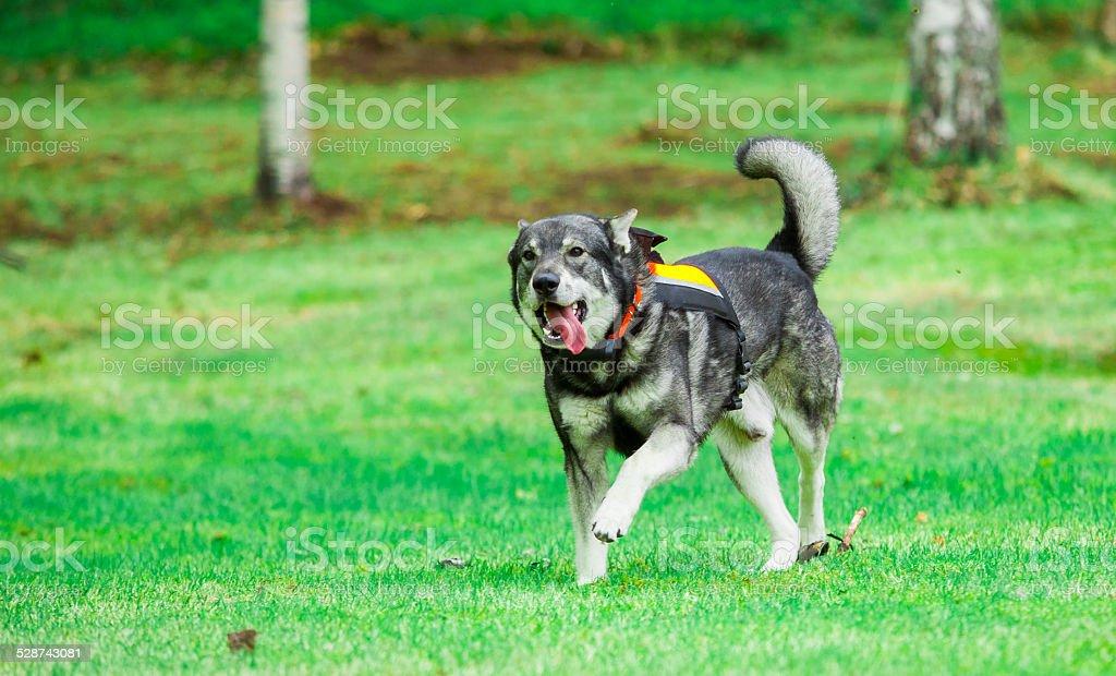 Swedish Elkhound (Moosehound) stock photo