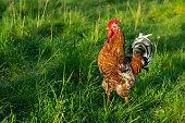 Swedish flower hen rooster