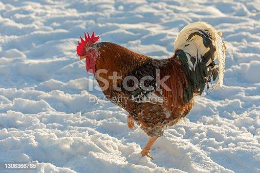 Swedish flower hen rooster standing in snow.