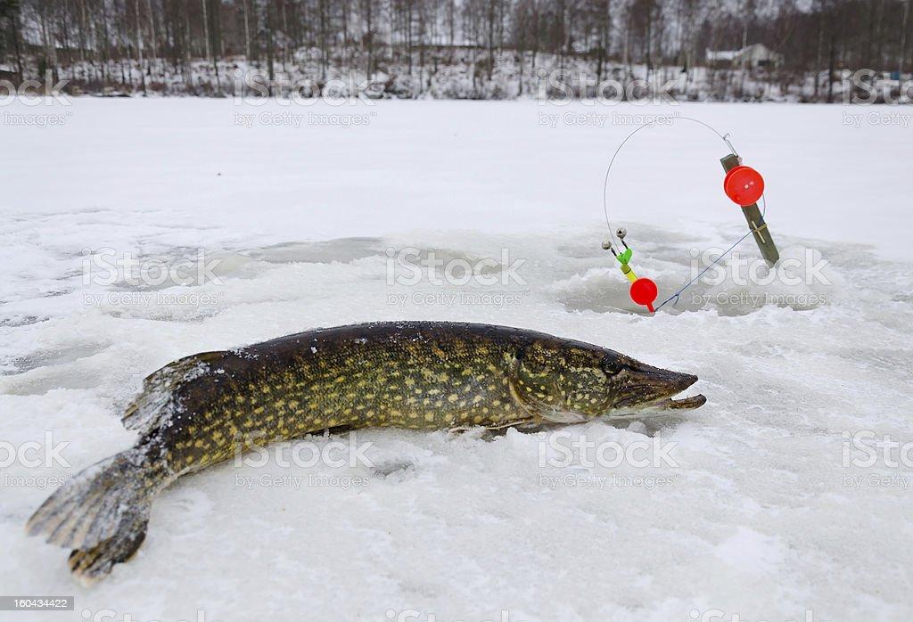 Swedish winter fishing royalty-free stock photo