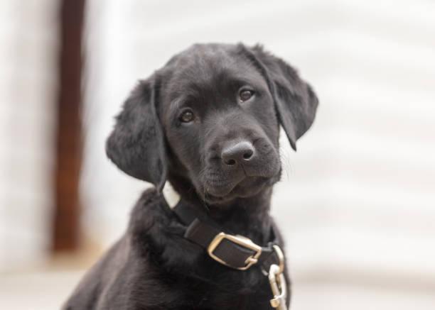 Sweet, adorable black labrador retriever puppy stock photo