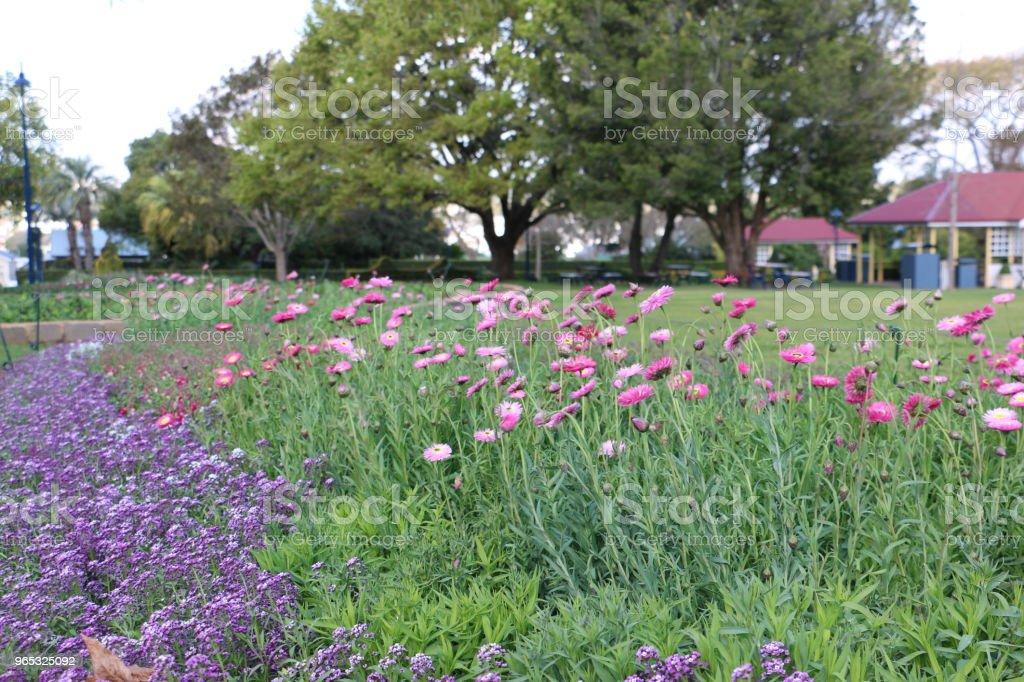 Sweet Alyssum and Everlasting Daisies in Laurel Bank Park royalty-free stock photo