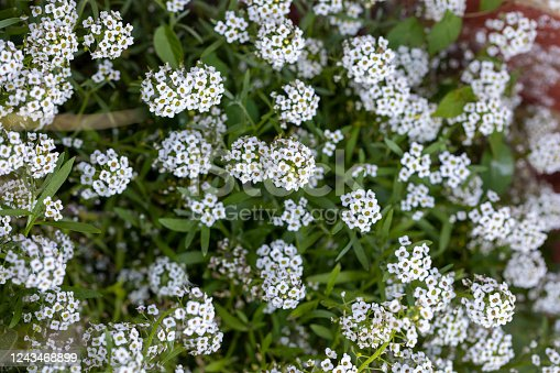 Sweet alyssum (Lobularia maritima) flowers in bloom in springtime