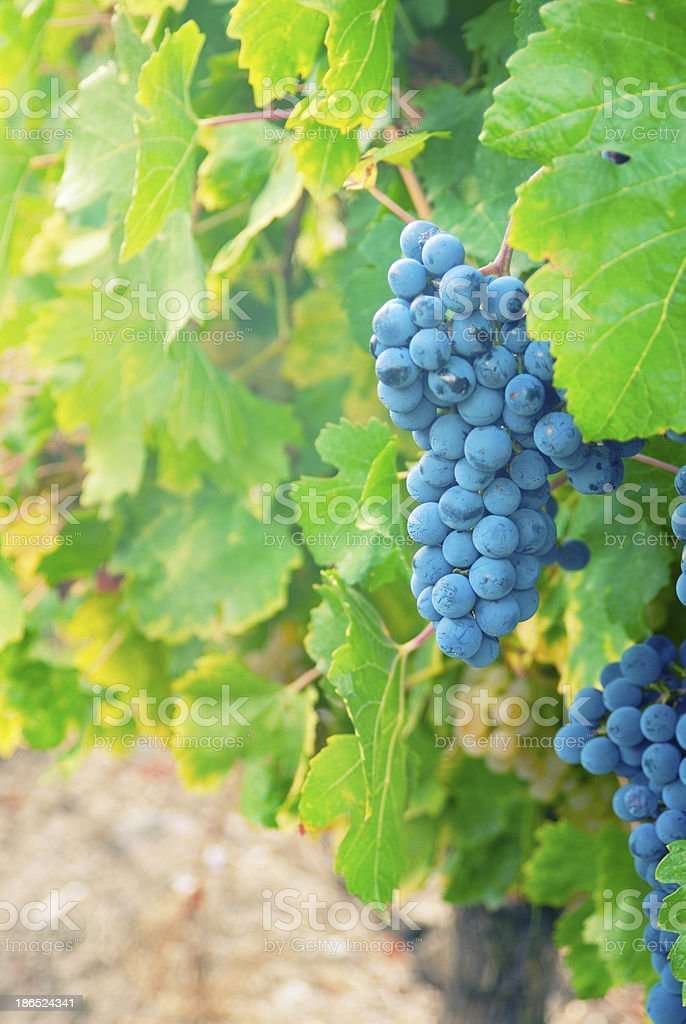 Sweet and tasty blue grape bunch royalty-free stock photo