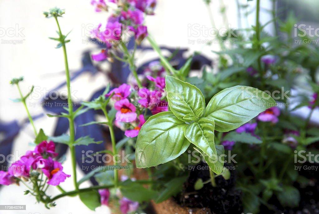 Sweet Basil Herb royalty-free stock photo