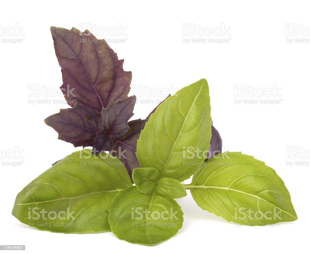 Sweet basil leaves royalty-free stock photo
