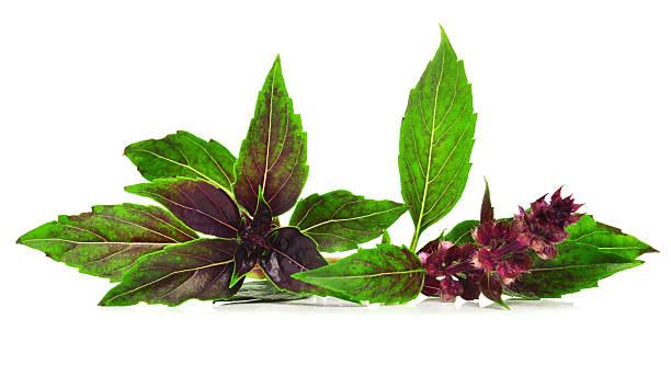sweet basilikum - ocimum tenuiflorum stock-fotos und bilder