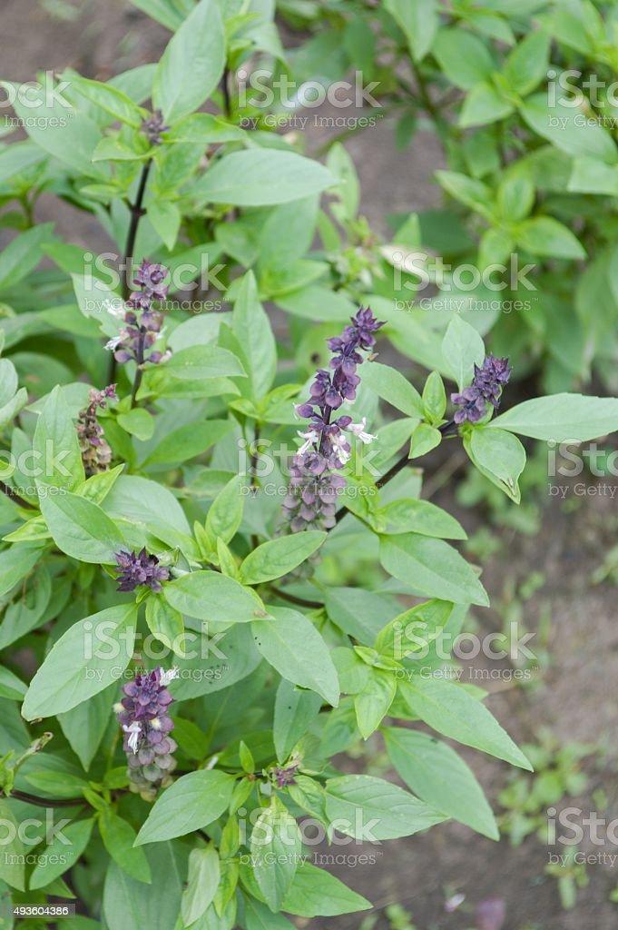 sweet basil tree stock photo