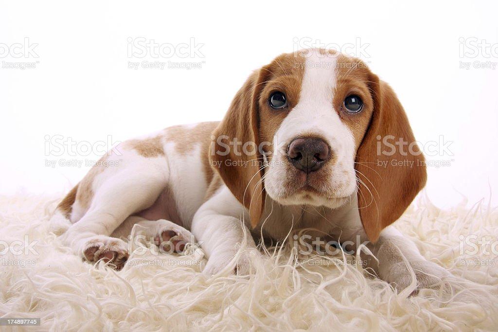 Sweet Beagle puppy royalty-free stock photo