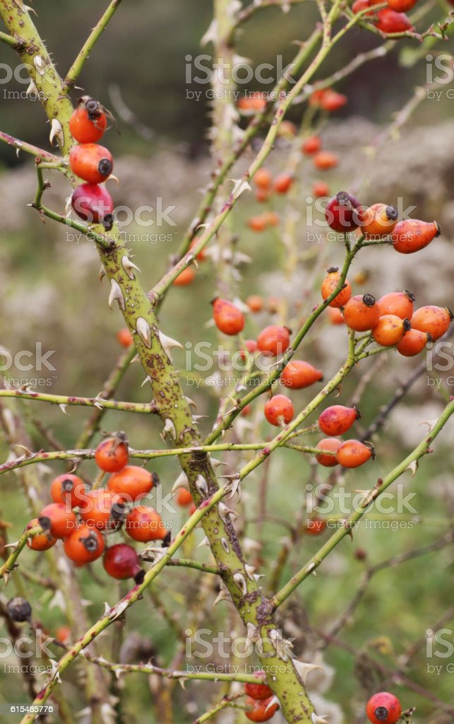 Sweet Briar Rose Hips (Rosa rubiginosa) stock photo