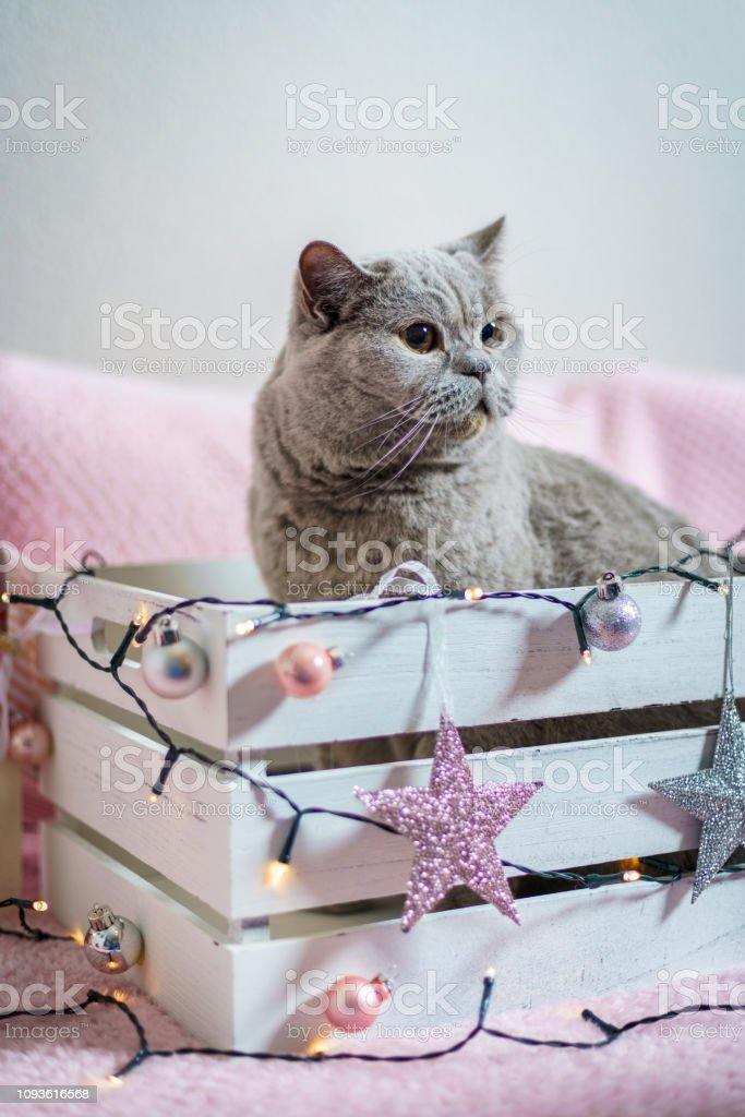 Sweet British shorthair cat in a Christmas gift box.