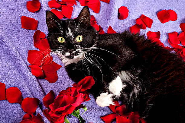 Sweet cat lying on the red rose petals Black-white cat lying on petals of roses cat valentine stock pictures, royalty-free photos & images