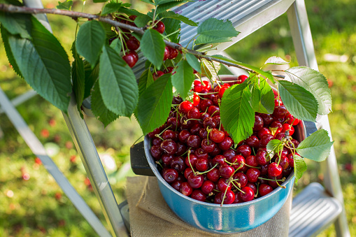 Sweet cherry in the bowl