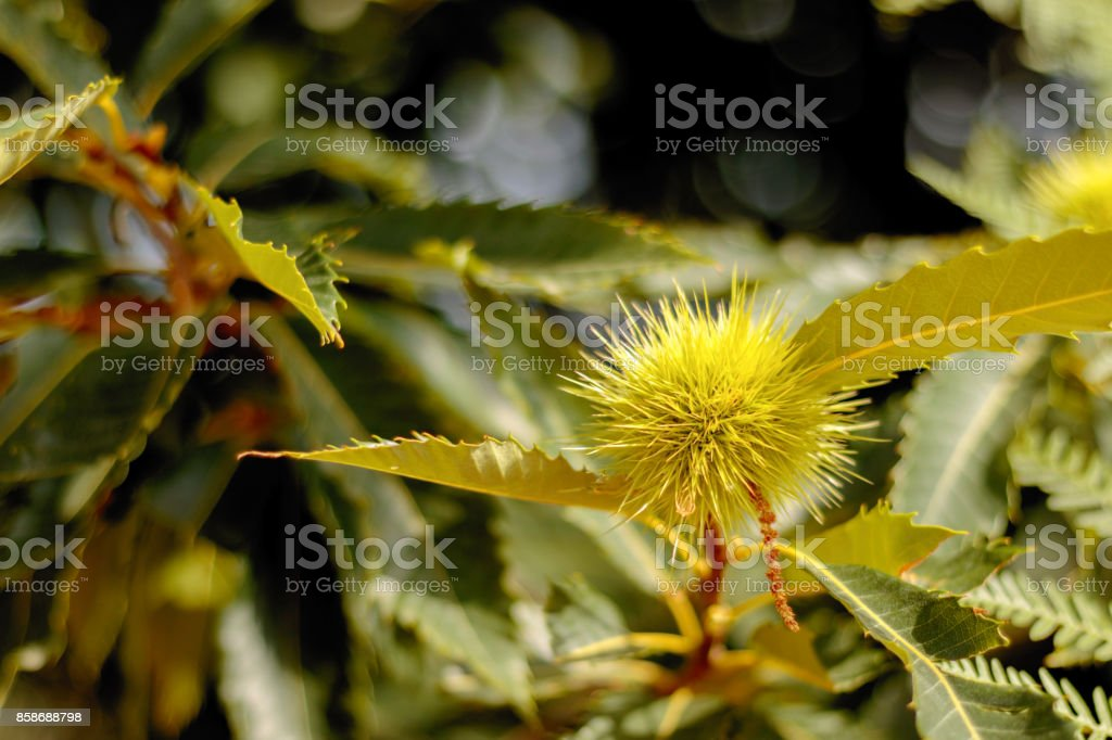 Sweet chestnut burr and leaves stock photo