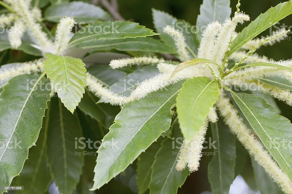 Sweet Chestnut (Castanea sativa) Catkins royalty-free stock photo