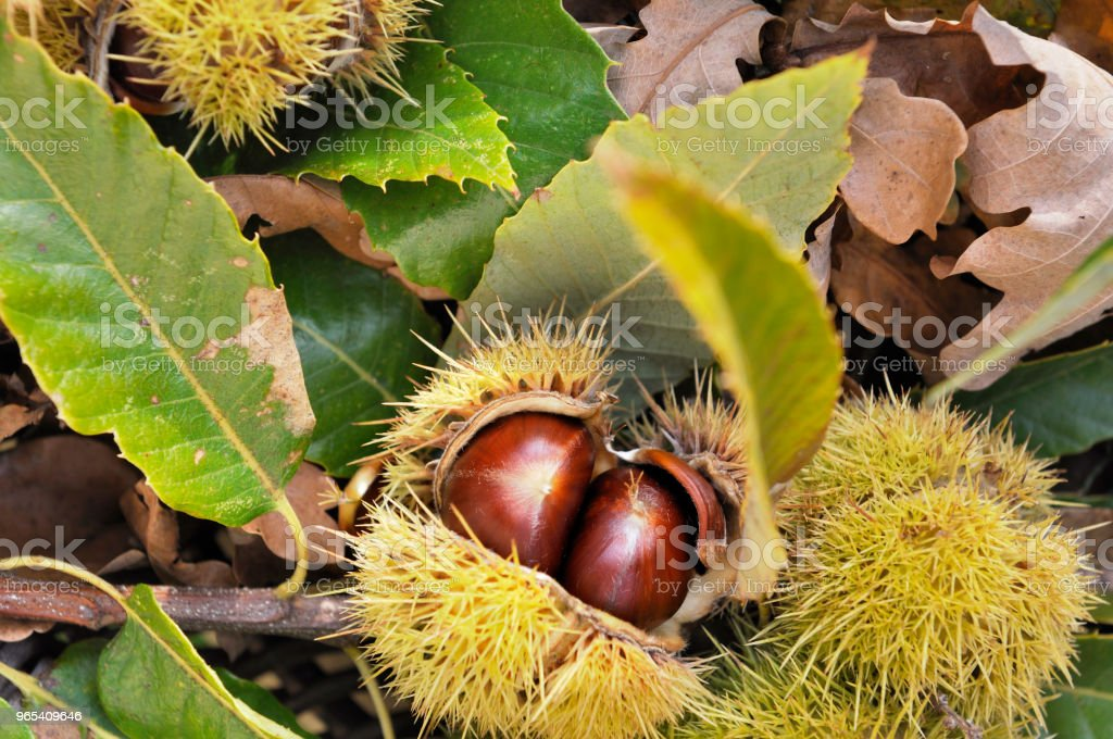 sweet chestnut in bug zbiór zdjęć royalty-free