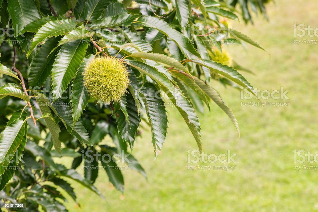 sweet chestnut in husk growing on chestnut tree with copy space stock photo