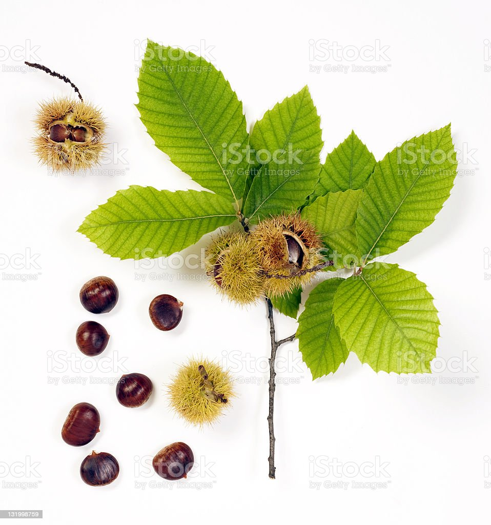 sweet chestnut stock photo