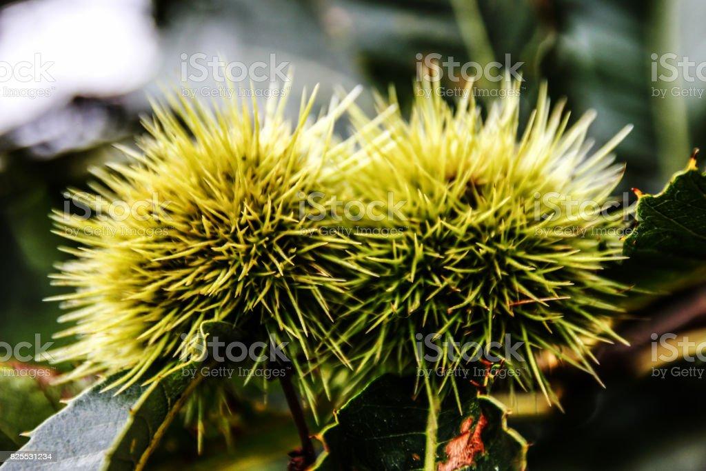 Sweet chestnut (Castanea sativa) stock photo