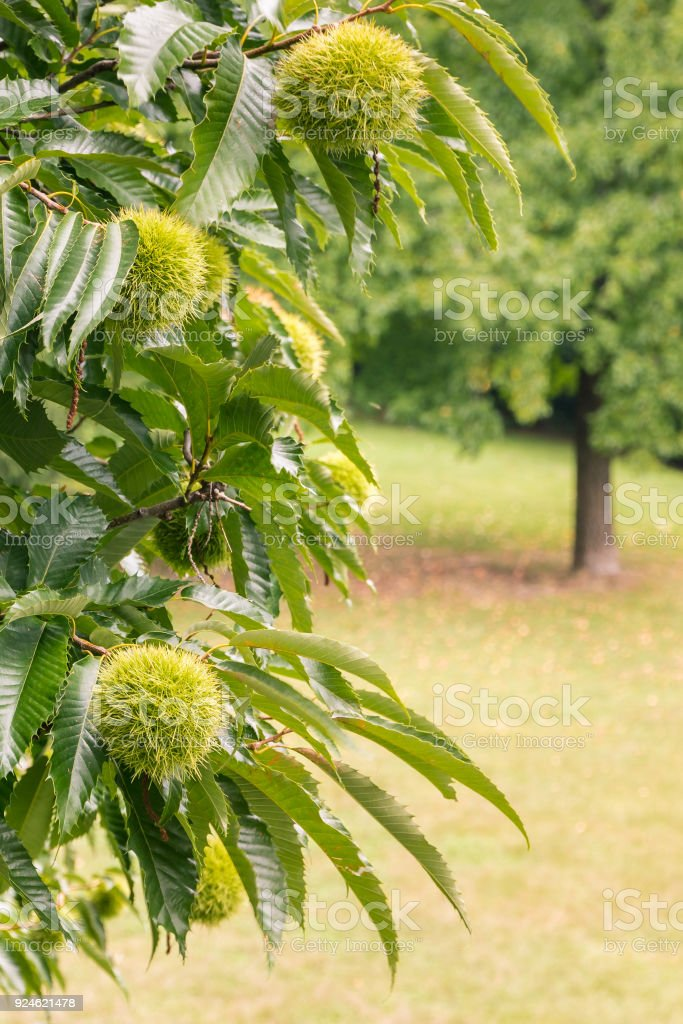 sweet chestnut tree with chestnuts in husks stock photo