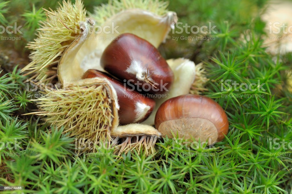 sweet chestnuts in bug royalty-free stock photo