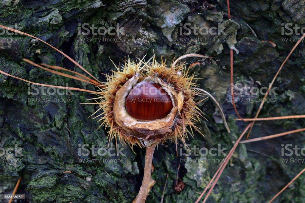 Sweet chestnuts in nature (Castanea sativa) stock photo