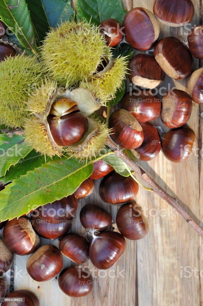 sweet chestnuts on branch royalty-free stock photo