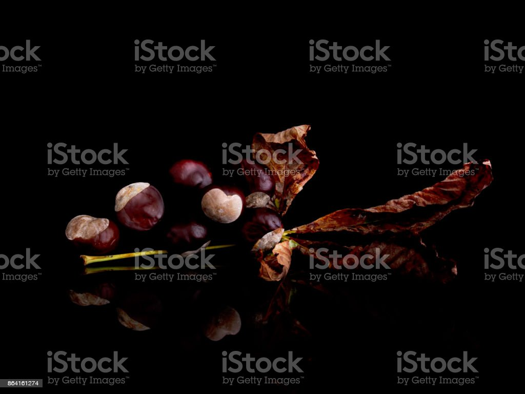Sweet chestnuts on leaf, autumn harvest. Castanea sativa. royalty-free stock photo
