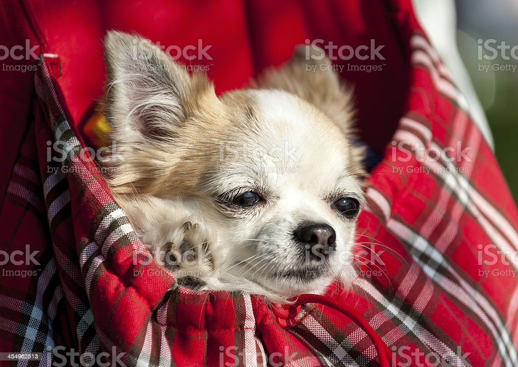 sweet chihuahua dog inside red checkered bag stock photo